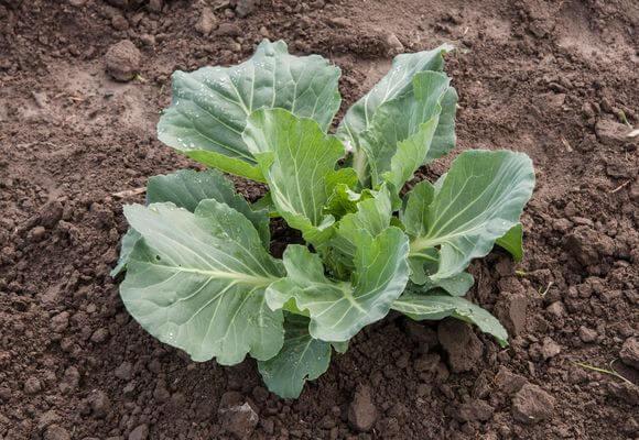 Вирощування капусти з розсади
