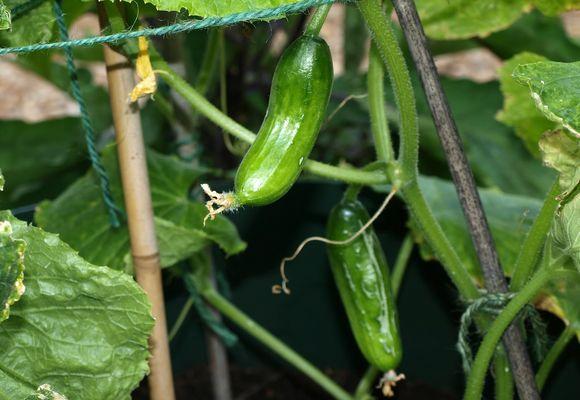 Як вирощувати огірки в теплиці взимку