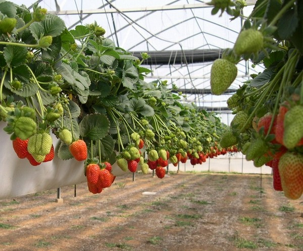 Вирощування полуниці в домашніх умовах