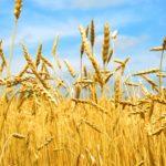 Як вирощувати озиму пшеницю, щоб отримати максимальний урожай?