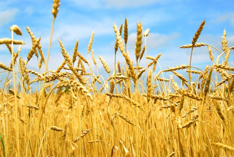 Як вирощувати озиму пшеницю