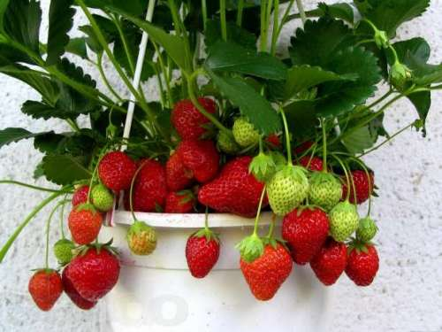 Вирощування полуниці в горщиках