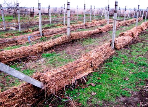 Укриття винограду на зиму