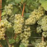 Як укрити виноград на зиму – процес в подробицях