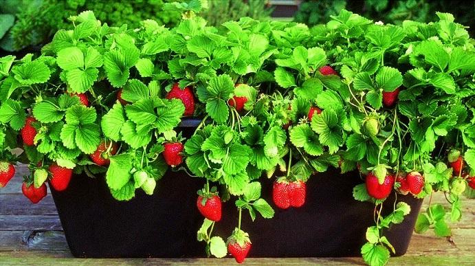 Як вирощувати в домашніх умовах полуницю