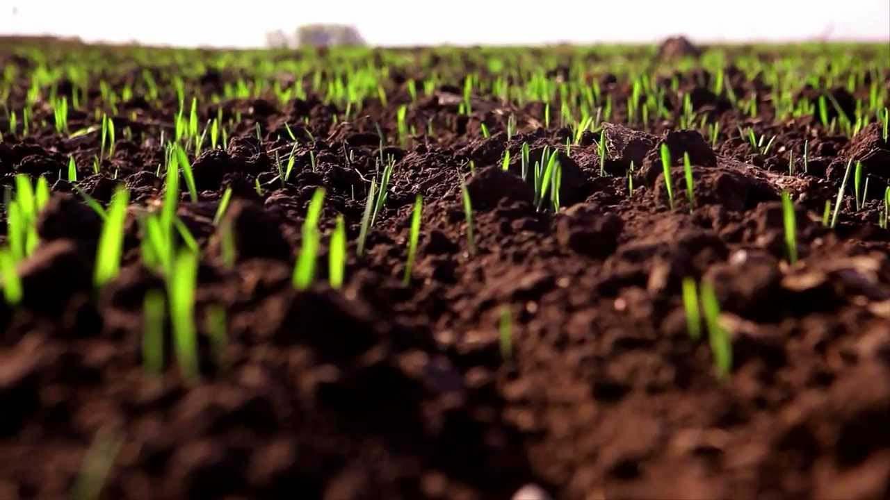 Технологія вирощування озимої пшениці
