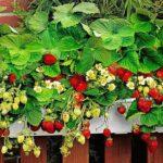 Технологія вирощування полуниці в квартирі (домашніх умовах) круглий рік: догляд і запилення