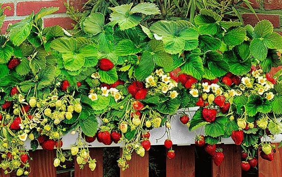 Технологія вирощування полуниці в квартирі