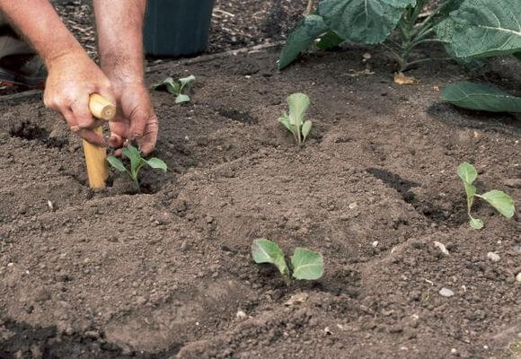 Висадка розсади капусти в грунт