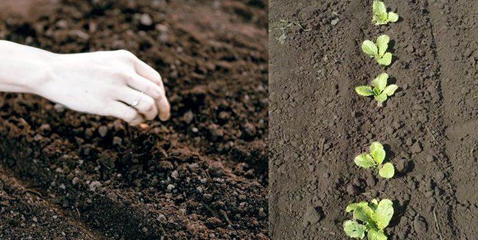 Посів насіння капусти у відкритий грунт