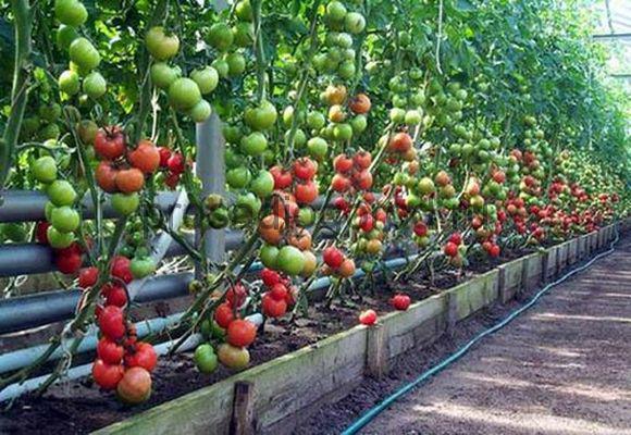 Як вирощувати томати черрі в теплиці