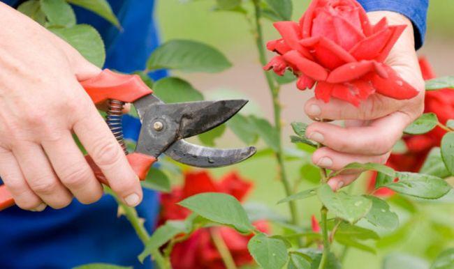 Умови для зберігання троянд