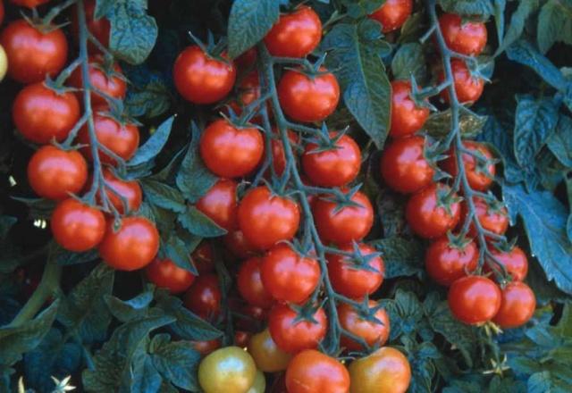 Посів і догляд за помідорами черрі