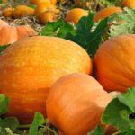 Вирощування гарбуза: від посадки до дозрівання