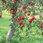 Як посадити яблуню навесні або восени: покрокове керівництво