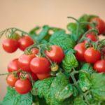 Помідори (томати) черрі: вирощування і догляд в теплиці, пасинкування