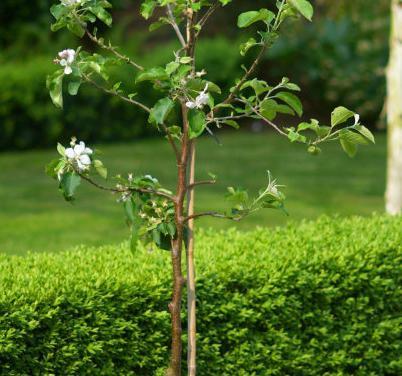 Саджанці для посадки яблуні