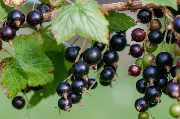 Як правильно посадити смородину восени і навесні