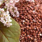 Технологія вирощування гречки, особливості посіву, догляду та збирання врожаю
