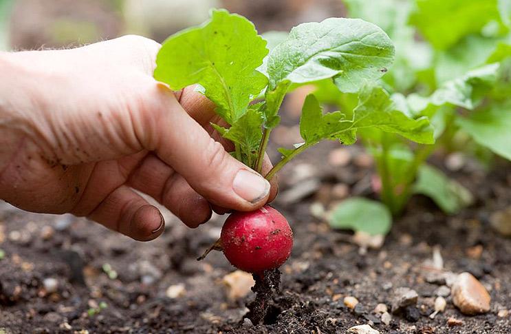Як садити редиску?