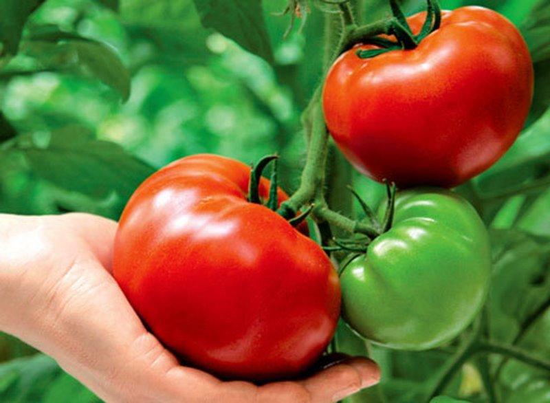 Як виростити великі помідори