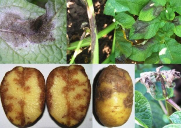 Ознаки фітофтори у картоплі