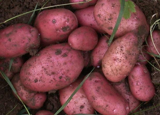 Сорт картоплі Рокко