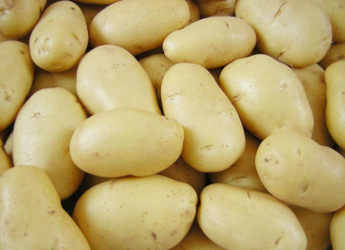 Сорт картоплі Імпала
