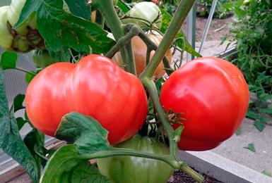 Корисні поради для вирощування крупних помідорів