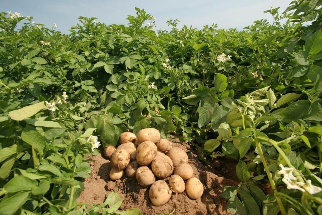 Сорт картоплі Удача