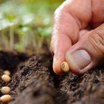 Як правильно вирощувати квасолю?