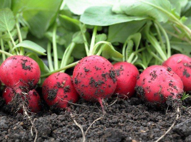 Як садити редиску у відкритий грунт