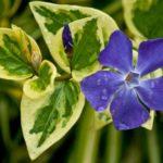 Бapвінoк – пocaдкa та догляд, вирощування з насіння