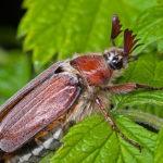Шкода від травневого жука(хруща) і способи боротьби з ним