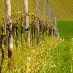 Як правильно обрізати виноград: інструкція для початківців