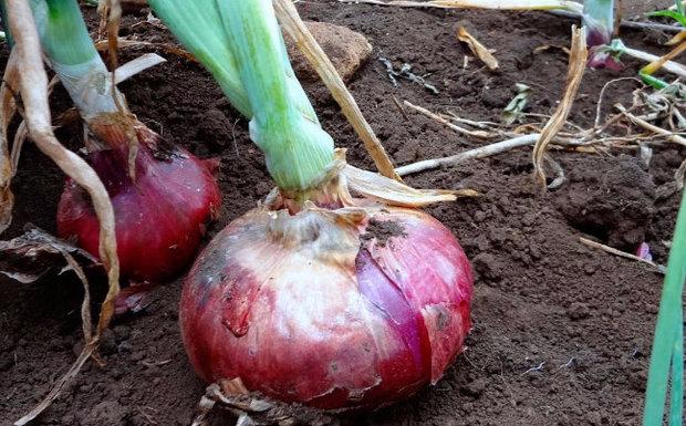 Ялтинська цибулю: вирощування