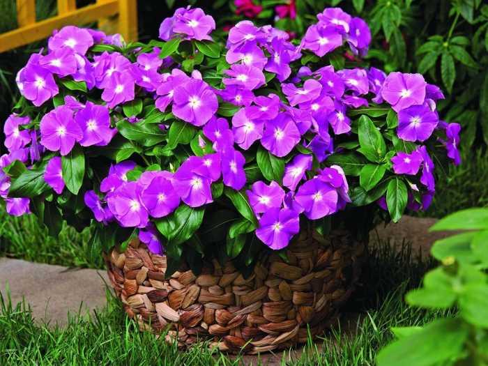 Як вирощувати барвінок?