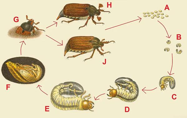 Розмноження травневий жук(хрущів) і стадії росту
