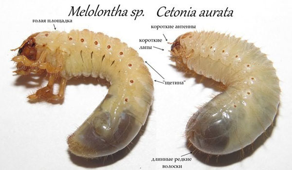 Фото личинок хруща і бронзовки: личинки хруща і бронзовки