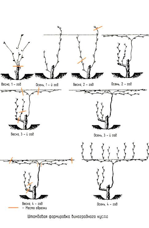 Схема обрізки винограду для Новачків
