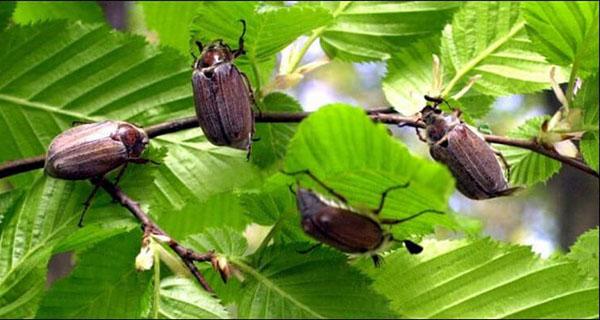 Народні способи боротьби з травневим жуком і личинками