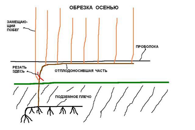 Схема обрізки винограду