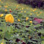 Арахіс: посадка і вирощування, збирання та зберігання