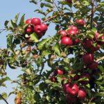 Карликова яблуня, посадка і догляд
