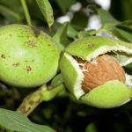 Як посадити і виростити волоський(грецький) горіх в домашніх умовах?