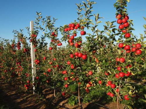 Плюси і мінуси карликових яблунь