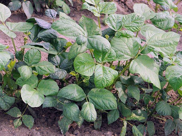 Растение арахис 96