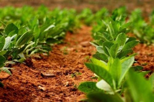 Як вирощувати тютюн у відкритому грунті?
