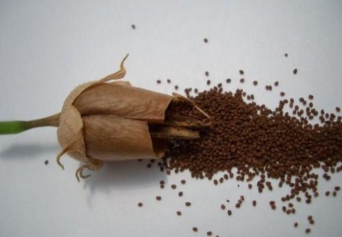 Сорти тютюну для вирощування