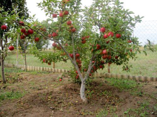Догляд за карликовими яблунями навесні